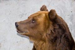 arctos熊属类 免版税图库摄影