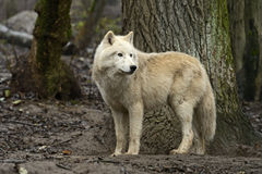 arctos犬属拉丁狼疮名字极性狼 免版税图库摄影