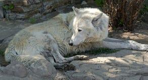 arctos犬属拉丁狼疮名字极性狼 免版税库存照片
