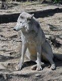 arctos犬属拉丁狼疮名字极性狼 库存图片