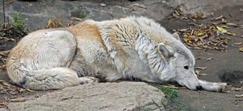 arctos犬属拉丁狼疮名字极性狼 免版税库存图片