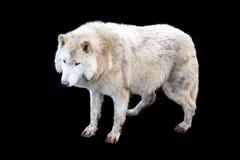 Arctos Λύκου Canis που απομονώνονται στο Μαύρο Στοκ Εικόνες