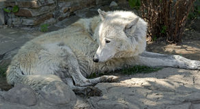 arctos πολικός λύκος ονόματος Λύκου canis λατινικός Στοκ φωτογραφία με δικαίωμα ελεύθερης χρήσης