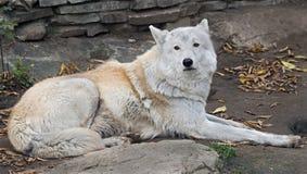 arctos πολικός λύκος ονόματος Λύκου canis λατινικός Στοκ εικόνες με δικαίωμα ελεύθερης χρήσης