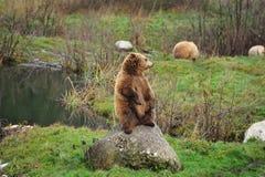 arctos носят коричневый ursus Стоковые Фотографии RF
