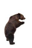 arctos носят коричневый ursus стоковые изображения