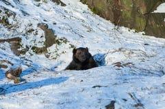 arctos负担棕色熊属类 库存图片