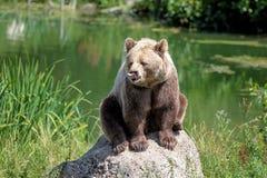 欧洲棕熊,熊属类arctos在公园 库存图片