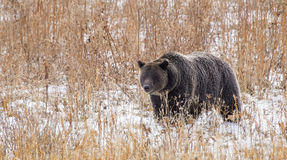 Arctos americani selvaggi di ursus dell'orso grigio Fotografie Stock
