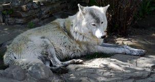 arctos canis łacińskiego lupus imienia biegunowy wilk zdjęcia stock