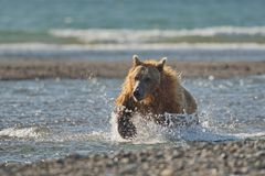 Arctos costeros pacíficos del usus de los osos de Brown - grizzliy - en KE imágenes de archivo libres de regalías