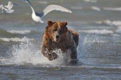 Arctos costeros pacíficos del usus de los osos de Brown - grizzliy - en KE foto de archivo