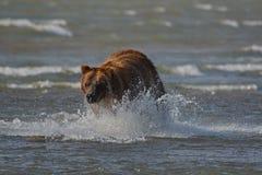 Arctos costeros pacíficos del usus de los osos de Brown - grizzliy - en KE fotografía de archivo libre de regalías