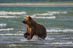 Arctos costeros pacíficos del usus de los osos de Brown - grizzliy - en KE fotos de archivo libres de regalías
