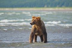 Arctos costeros pacíficos del usus de los osos de Brown - grizzliy - en KE fotos de archivo