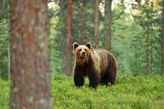 Arctos d'ursus d'ours de Brown dans une forêt images libres de droits