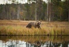 Arctos d'Ursus L'ours brun est le plus grand prédateur en Europe photos libres de droits