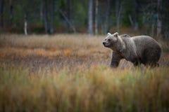 Arctos d'Ursus L'ours brun est le plus grand prédateur en Europe images libres de droits