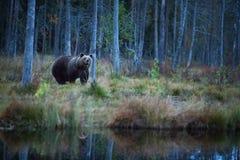 Arctos d'Ursus L'ours brun est le plus grand prédateur en Europe photographie stock
