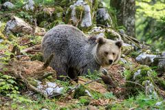 Arctos d'Ursus d'ours de Brown Photo stock