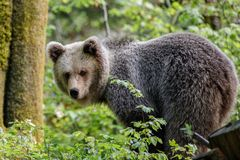 Arctos d'Ursus d'ours de Brown Photographie stock libre de droits