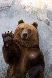 Arctos del Ursus Fotografie Stock Libere da Diritti