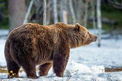 Arctos del Ursus del oso de Brown en un pantano en el bosque de la primavera Fotografía de archivo