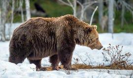 Arctos del Ursus del oso de Brown; en un pantano en el bosque de la primavera Imagenes de archivo