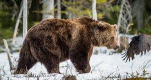 Arctos del Ursus del oso de Brown en un pantano en el bosque de la primavera Foto de archivo libre de regalías