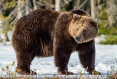 Arctos del Ursus del oso de Brown en una nieve Fotos de archivo