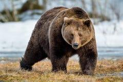 Arctos del Ursus del oso de Brown en una nieve Foto de archivo libre de regalías
