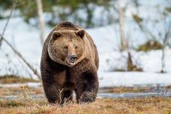 Arctos del Ursus del oso de Brown en una nieve Foto de archivo