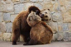 Arctos del Ursus del oso de Brown imagenes de archivo