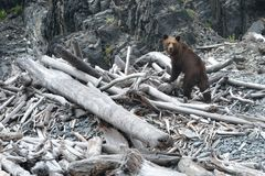 Arctos di ursus dell'orso bruno che camminano lungo la sponda del fiume fotografie stock