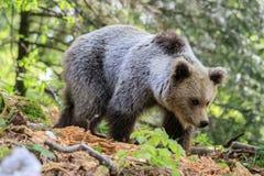 Arctos do Ursus do urso de Brown Imagem de Stock Royalty Free