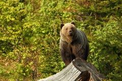 Arctos do Ursus Urso de Brown A foto era Eslováquia recolhido imagem de stock royalty free