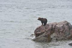 Arctos do Ursus do urso de Brown que pescam para salmões cor-de-rosa imagens de stock