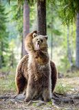 Arctos för Ursus för brunbjörngröngöling Stå upp Royaltyfri Bild