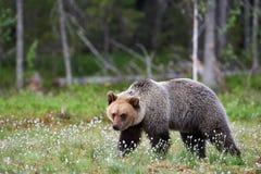 Arctos sauvages d'Ursus d'ours brun en Finlande Images stock