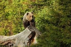 Arctos Ursus αντέξτε όντας Βερολίνο καφετί έχει καλυμμένο το φωτογραφία ζωολογικό κήπο Η φωτογραφία λήφθηκε στη Σλοβακία Στοκ Εικόνες
