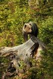 Arctos Ursus αντέξτε όντας Βερολίνο καφετί έχει καλυμμένο το φωτογραφία ζωολογικό κήπο Η φωτογραφία λήφθηκε στη Σλοβακία Στοκ Εικόνα