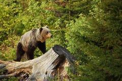 Arctos Ursus αντέξτε όντας Βερολίνο καφετί έχει καλυμμένο το φωτογραφία ζωολογικό κήπο Η φωτογραφία λήφθηκε στη Σλοβακία Στοκ Φωτογραφίες