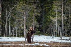 Arctos Ursus бурого медведя стоя на его задних ногах Стоковые Фотографии RF