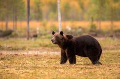 Arctos Ursus бурого медведя в лесе осени Стоковые Изображения RF