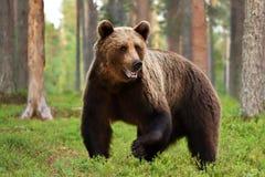 Arctos Ursus бурого медведя в лесе Стоковое Изображение RF