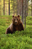 Arctos ursus бурого медведя в лесе Стоковое Изображение