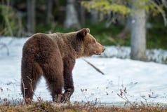 Arctos Ursus бурого медведя на лесе трясины весной Стоковое Изображение RF