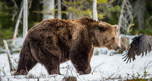 Arctos Ursus бурого медведя на лесе трясины весной Стоковое фото RF