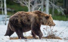 Arctos Ursus бурого медведя на лесе трясины весной Стоковая Фотография