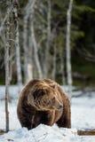 Arctos Ursus бурого медведя на лесе трясины весной Стоковое Изображение